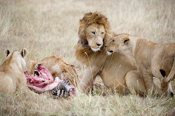 Animal Behavior Photograph - Pride Of Lions Panthera Leo Eating by Animal Images