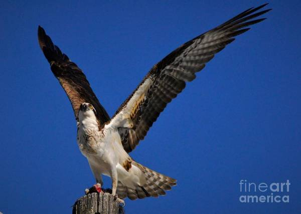River Hawk Photograph - Pride Of The Sky's by Quinn Sedam