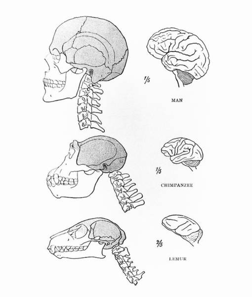 Comparative Anatomy Wall Art - Photograph - Primate Brains by Science Photo Library