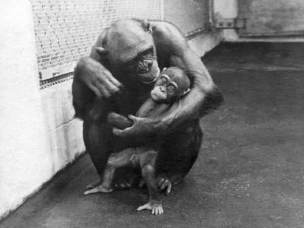 Wall Art - Photograph - Primate Discipline by Underwood Archives