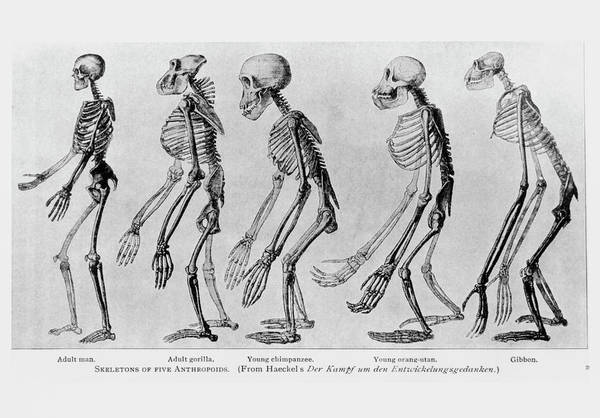 Wall Art - Photograph - Primate Skeletons by Science Photo Library