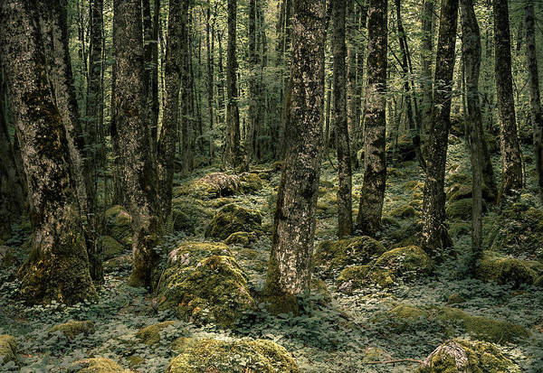 Photograph - Primeval Forest by Alexander Kunz