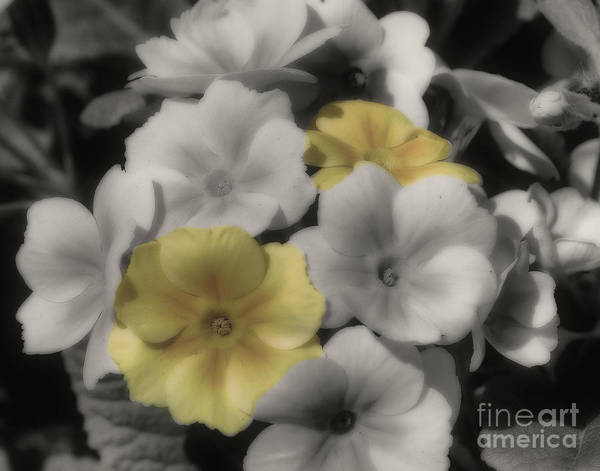 Photograph - Primrose Flowers by Smilin Eyes  Treasures