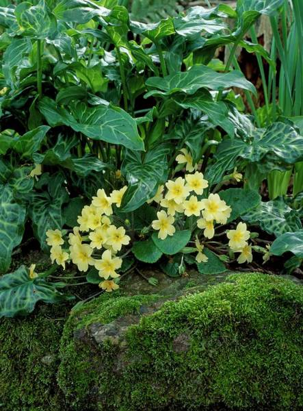 Wall Art - Photograph - Primroses (primula Vulgaris) In Flower by Geoff Kidd/science Photo Library