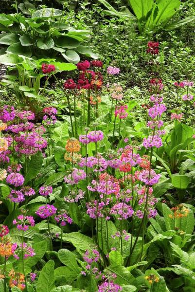 Hybrid Photograph - Primula 'harlow Carr Hybrids' Flowers by Adrian Thomas