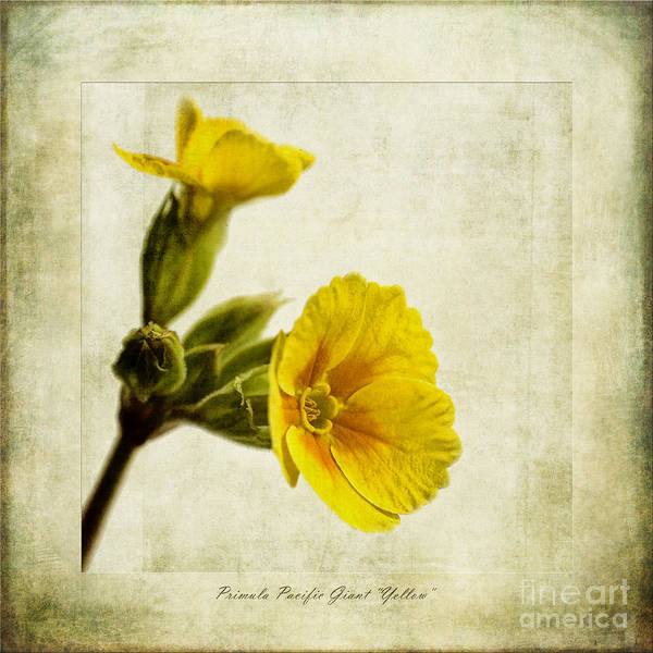 Gold Abstract Wall Art - Photograph - Primula Pacific Giant Yellow by John Edwards