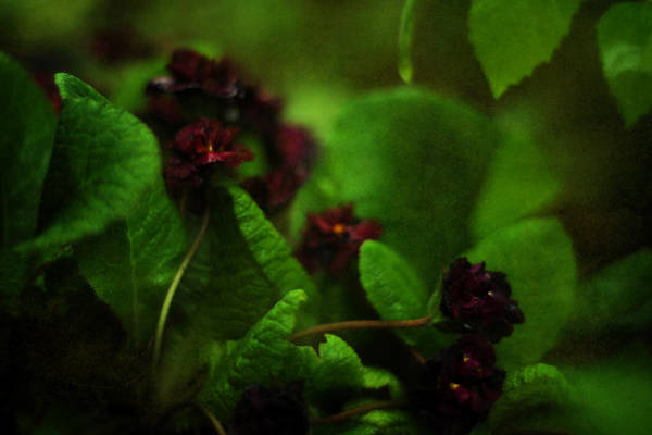 Photograph - Primula Vulgaris by Rebecca Sherman