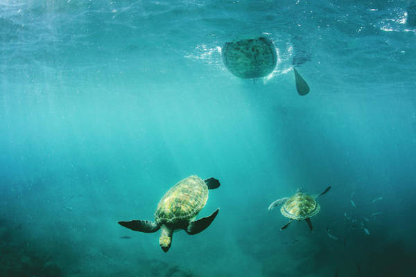 Turtle Photograph - Pro Sup Athlete Paddles With The Turtles by Sergio Villalba
