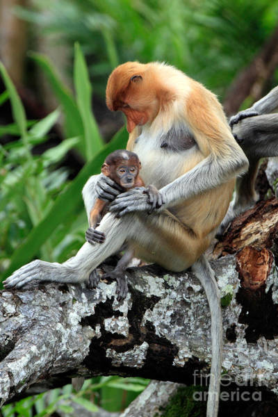 Nasalis Photograph - Proboscis Monkey And Baby by Sohns/Okapia