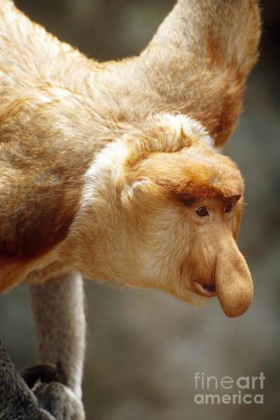 Nasalis Photograph - Proboscis Monkey by Art Wolfe