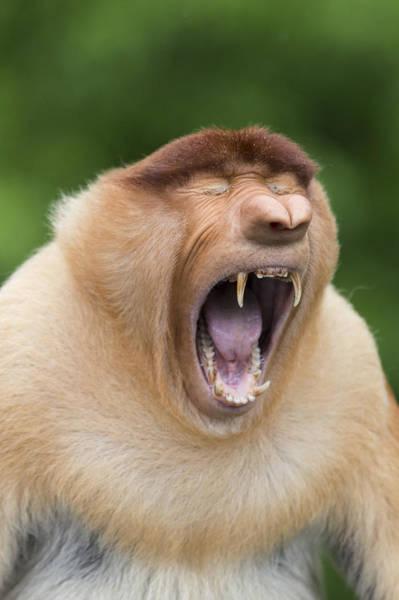Nasalis Photograph - Proboscis Monkey Dominant Male Yawning by Suzi Eszterhas