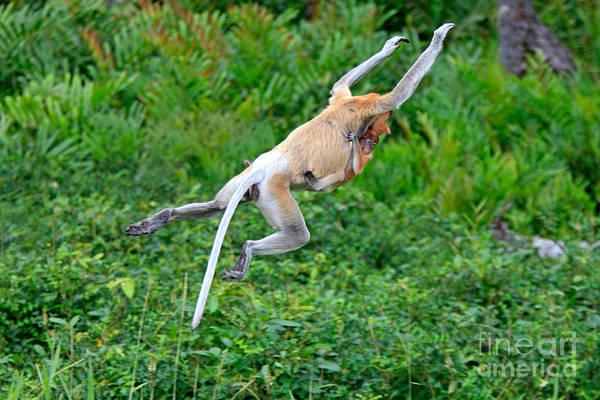 Nasalis Photograph - Proboscis Monkey Jumping by Sohns/Okapia