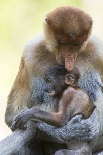 Nasalis Photograph - Proboscis Monkey Mother Holding Baby by Suzi Eszterhas