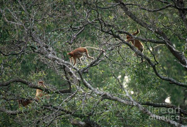 Nasalis Photograph - Proboscis Monkeys by Art Wolfe