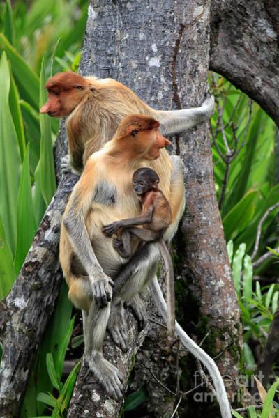 Nasalis Photograph - Proboscis Monkeys by Sohns/Okapia