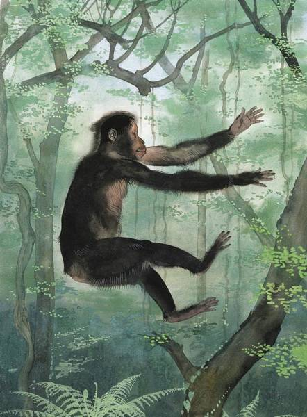 Wall Art - Photograph - Proconsul Africanus Primate by Natural History Museum, London/science Photo Library