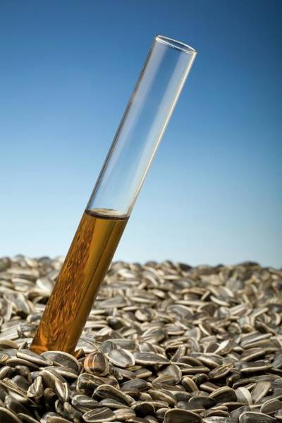 Sunflower Seeds Photograph - Producing Biofuels From Sunflowers by Steve Percival/science Photo Library