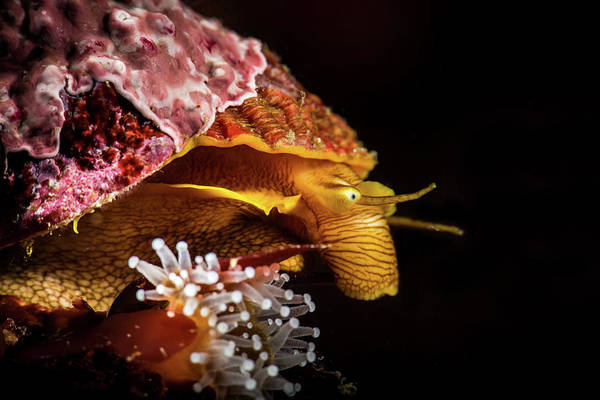 Cypraeidae Wall Art - Photograph - Profile Of A Sea Snail In Monterey by Brook Peterson