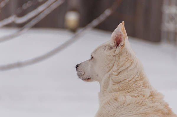 Photograph - Profile Of A White Dog by Guy Whiteley
