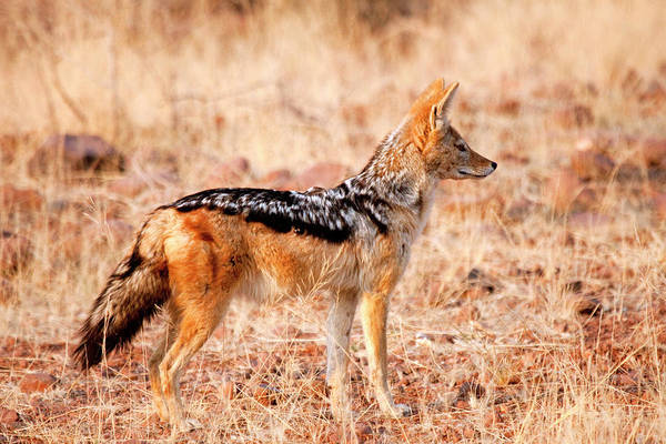 Nature Conservancy Photograph - Profile Of Black-backed Jackal (canis by Jaynes Gallery