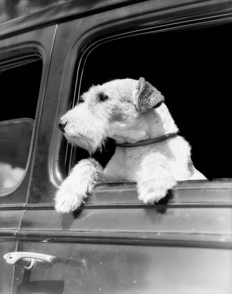 Fox Terrier Wall Art - Photograph - Profile Portrait Of Wire Fox Terrier by Vintage Images