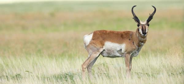 Buck Photograph - Prong Buck, Pronghorn Antelope by Maresa Pryor