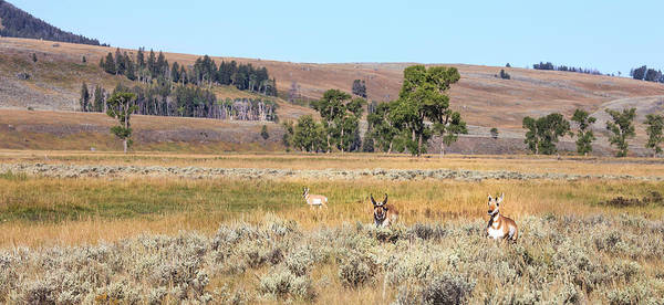 Pronghorn Antelope Wall Art - Photograph - Prong Horn Antelopes by Tom Norring