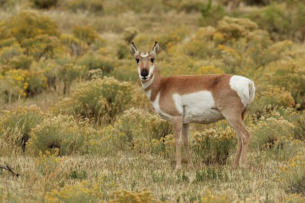 Pronghorn Photograph - Pronghorn Antelope, Yellowstone by Adam Jones
