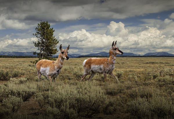 Photograph - Pronghorn Antelopes by Randall Nyhof