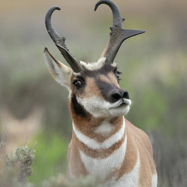 Sagebrush Photograph - Pronghorn Buck Showing Territorial by Maresa Pryor