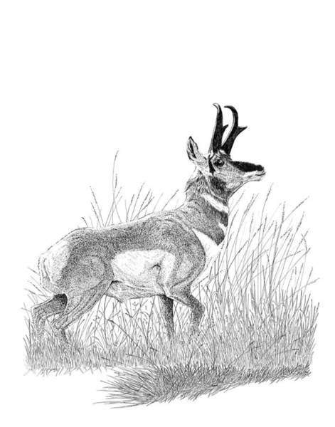 Drawing - Pronghorn by Carl Genovese