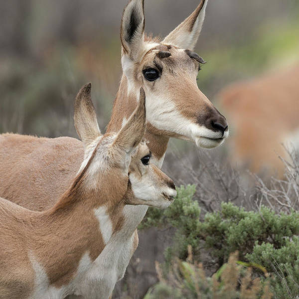 Pronghorn Antelope Wall Art - Photograph - Pronghorn Doe With This Years Fawn by Maresa Pryor