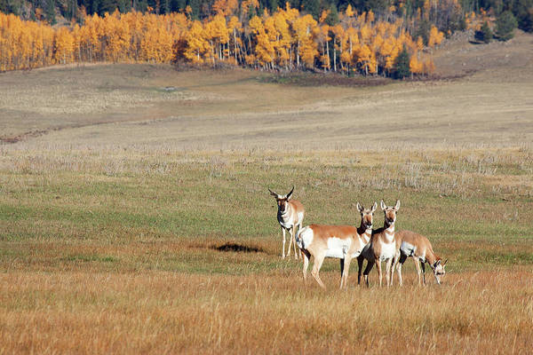 Photograph - Pronghorn In The Park by Jim Garrison