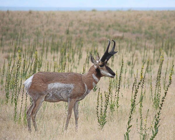 Photograph - Pronghorn Profile by Jemmy Archer
