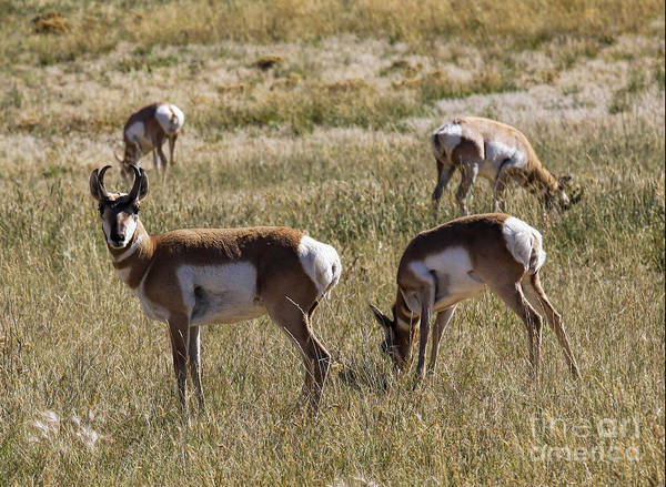 Photograph - Pronghorn by Richard Lynch