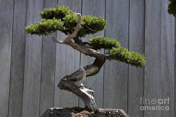 Wall Art - Photograph - Prostrate Juniper Bonsai Tree by Jason O Watson