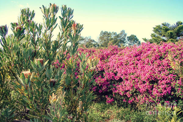 Photograph - Protea And Bougainvillea Kula Maui Hawaii by Sharon Mau