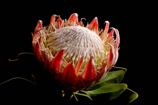 Photograph - Protea by Peter OReilly