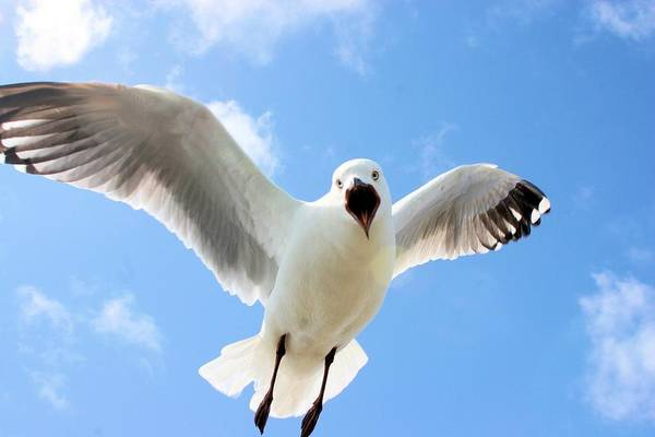 Photograph - Protective Gull by David Rich