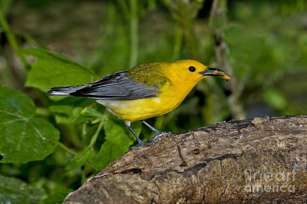 Parulidae Photograph - Prothonotary Warbler by Anthony Mercieca