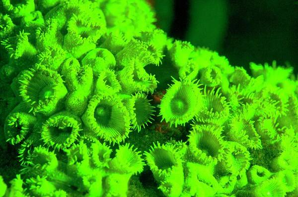 Wall Art - Photograph - Protopalythoa Coral Fluorescing by Louise Murray/science Photo Library