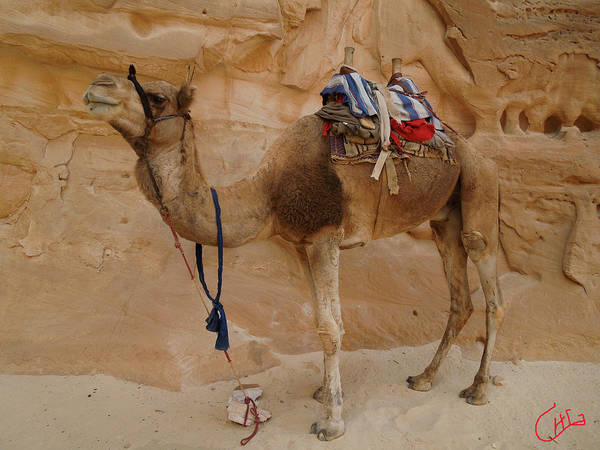 Photograph - Proud Camel Bou Bou Friend Waiting For Me Desert Sinai Egypt by Colette V Hera  Guggenheim