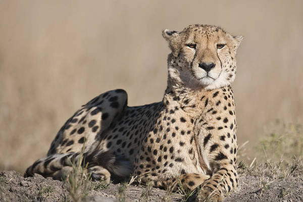 Wall Art - Photograph - Proud Cheetah by Richard Berry