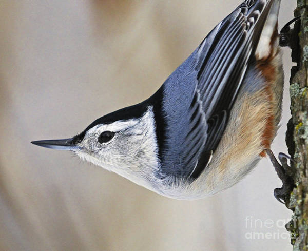 White-breasted Nuthatch Photograph - Proud Nuthatch... by Nina Stavlund