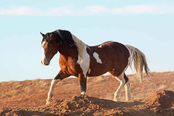 Photograph - Proud Paint Mustang by Jean Clark