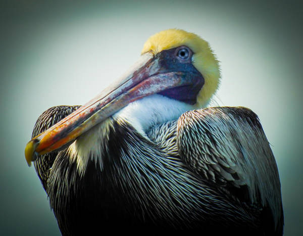Photograph - Proud To Be A Pelican by Karen Wiles