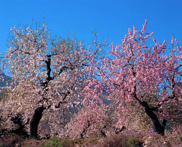Prunus Dulcis Art Print