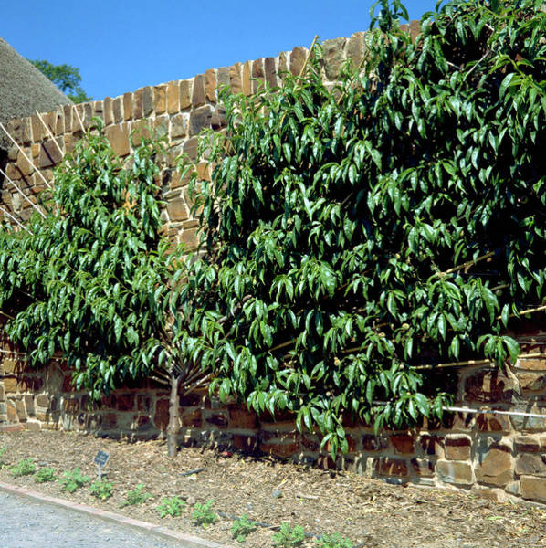 Persica Wall Art - Photograph - Prunus Persica Fan Trained. by Ailsa M Allaby/science Photo Library