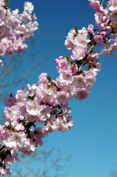 Wall Art - Photograph - Prunus Subhirtella 'fukuhana' by Brian Gadsby/science Photo Library