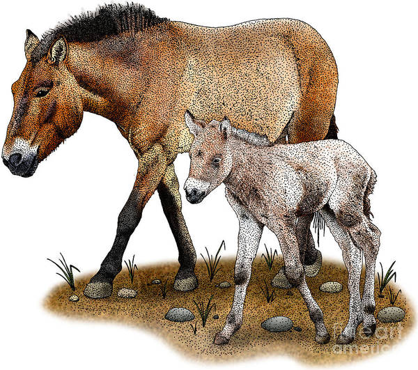 Photograph - Przewalskis Horse And Foal by Roger Hall